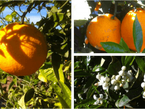 La naranja Navel Lane-Late en primavera