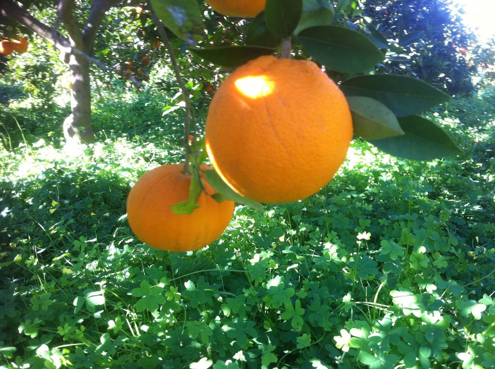 Naranja navel y la vinagreta
